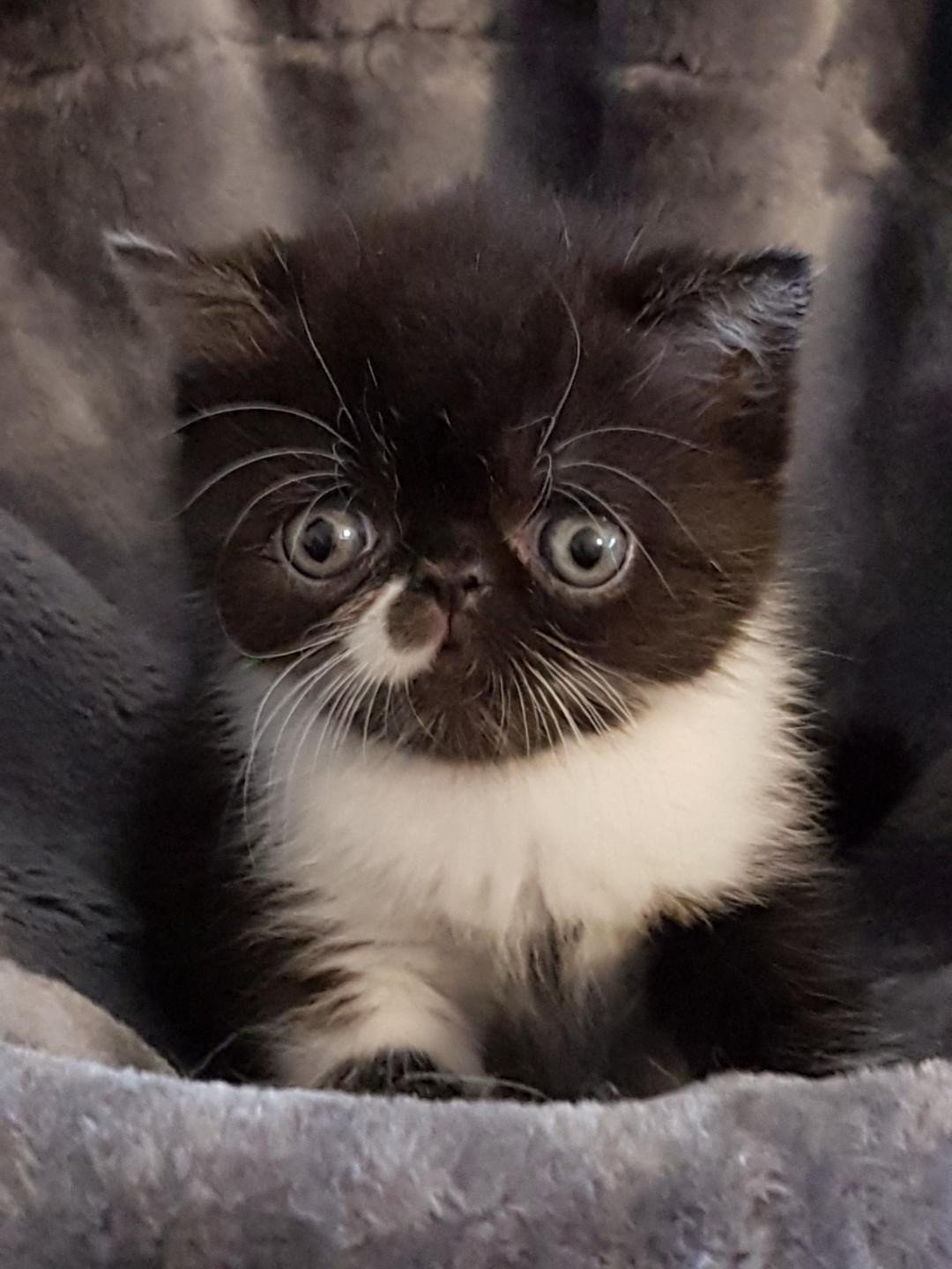 Othello chaton exotic shorthair noir et blanc