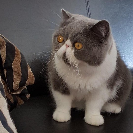 chat Exotic Shorthair blue bicolor Mya Chatterie Katzarolli
