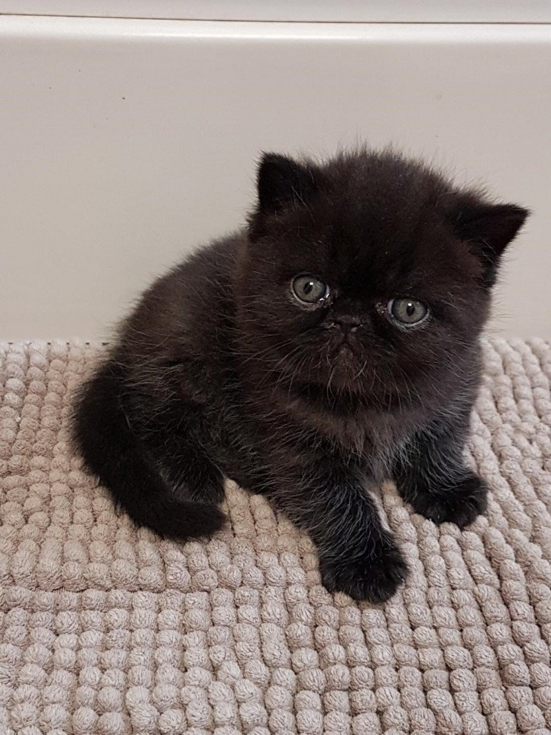 R'mess  Mâle  Exotic Shorthair