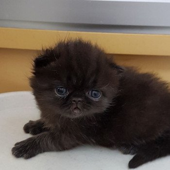chaton Exotic Shorthair black Rambo Chatterie Katzarolli
