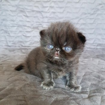 chaton Exotic Shorthair black R'mess Chatterie Katzarolli